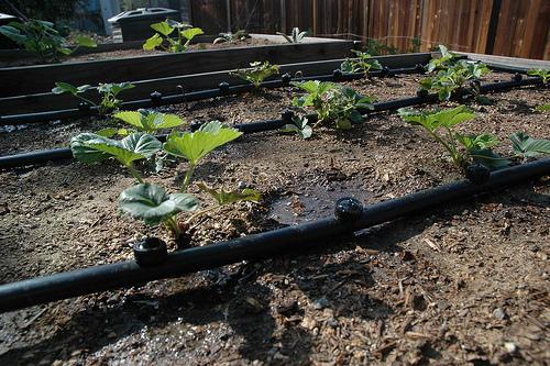 Система капельного полива для садовой земляники