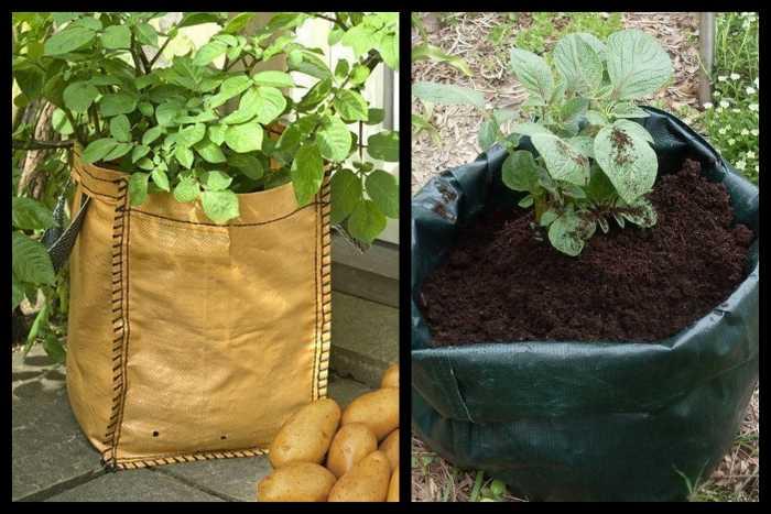 Выращивание картофеля дома 77
