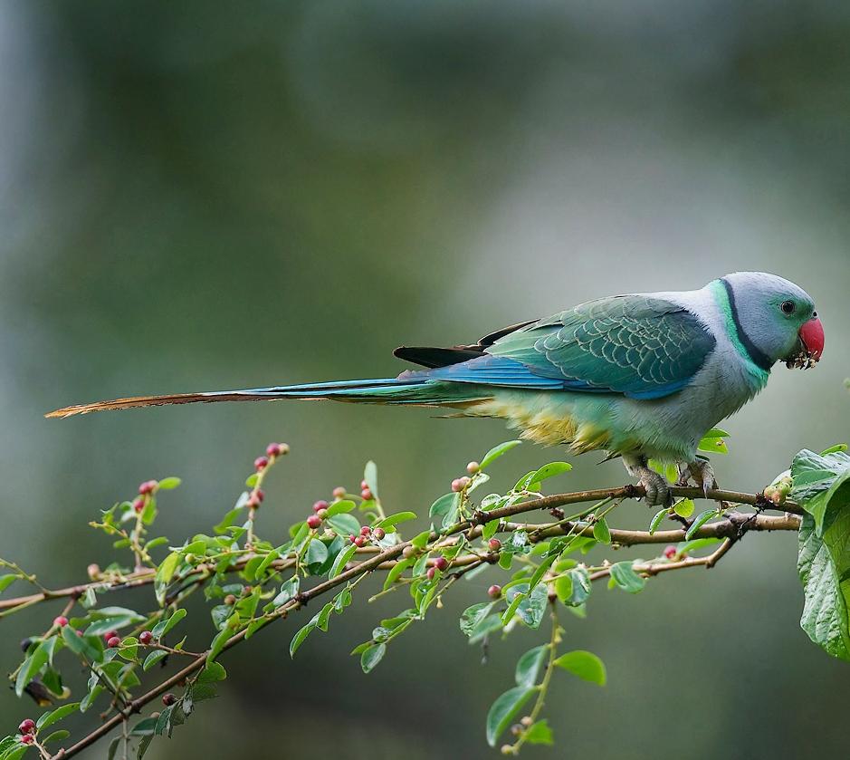 малабарский ожереловый попугай