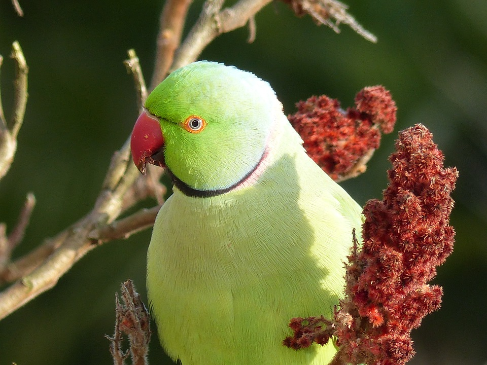 ожереловый попугай содержание и уход
