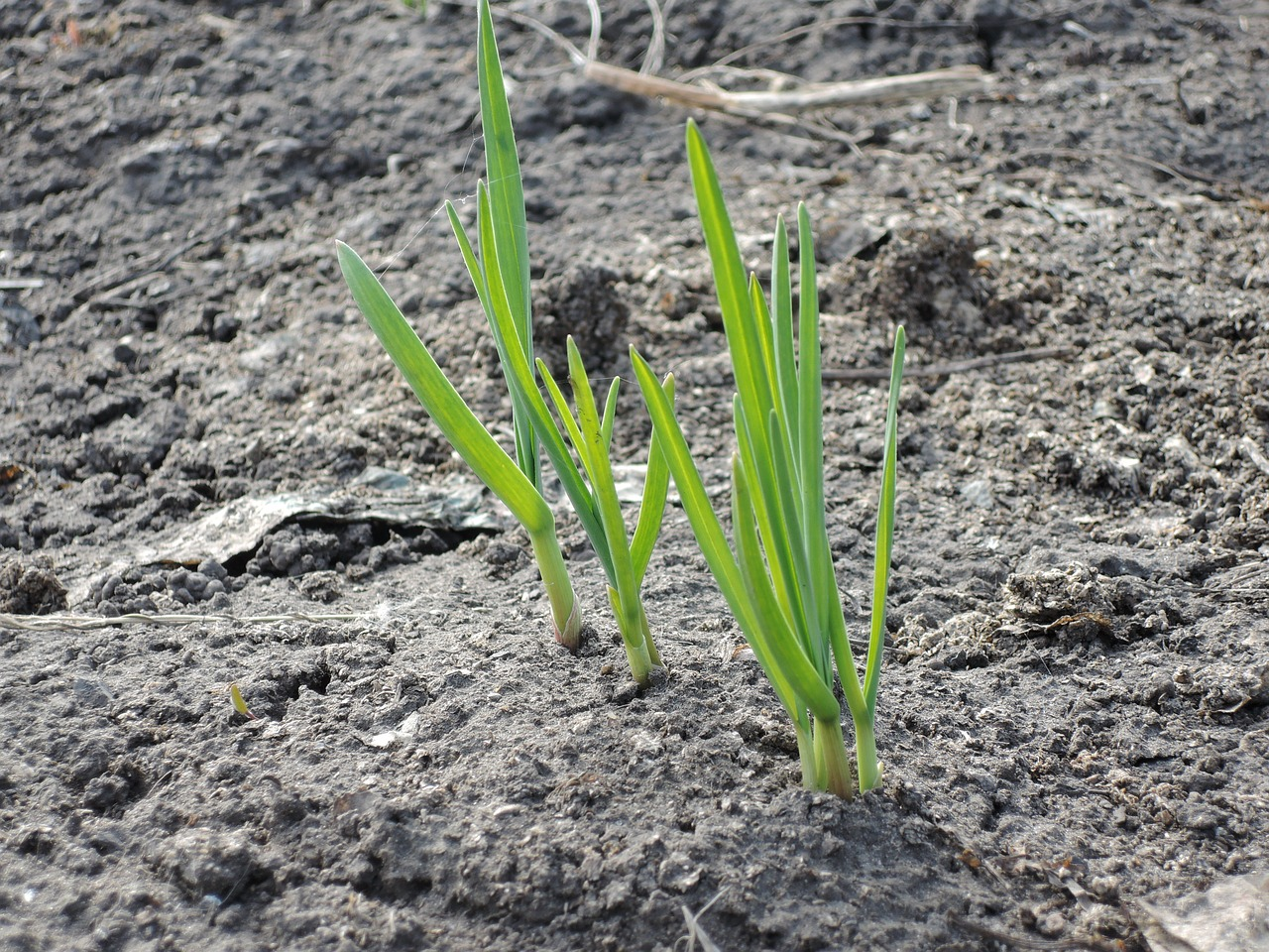 Что можно сажать после лука и чеснока на следующий год