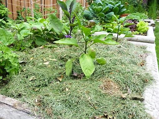 Травяная мульча - лучший вариант использования скошенной газонной травы