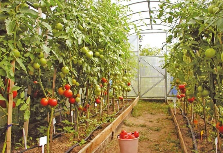 про помидоры в теплице