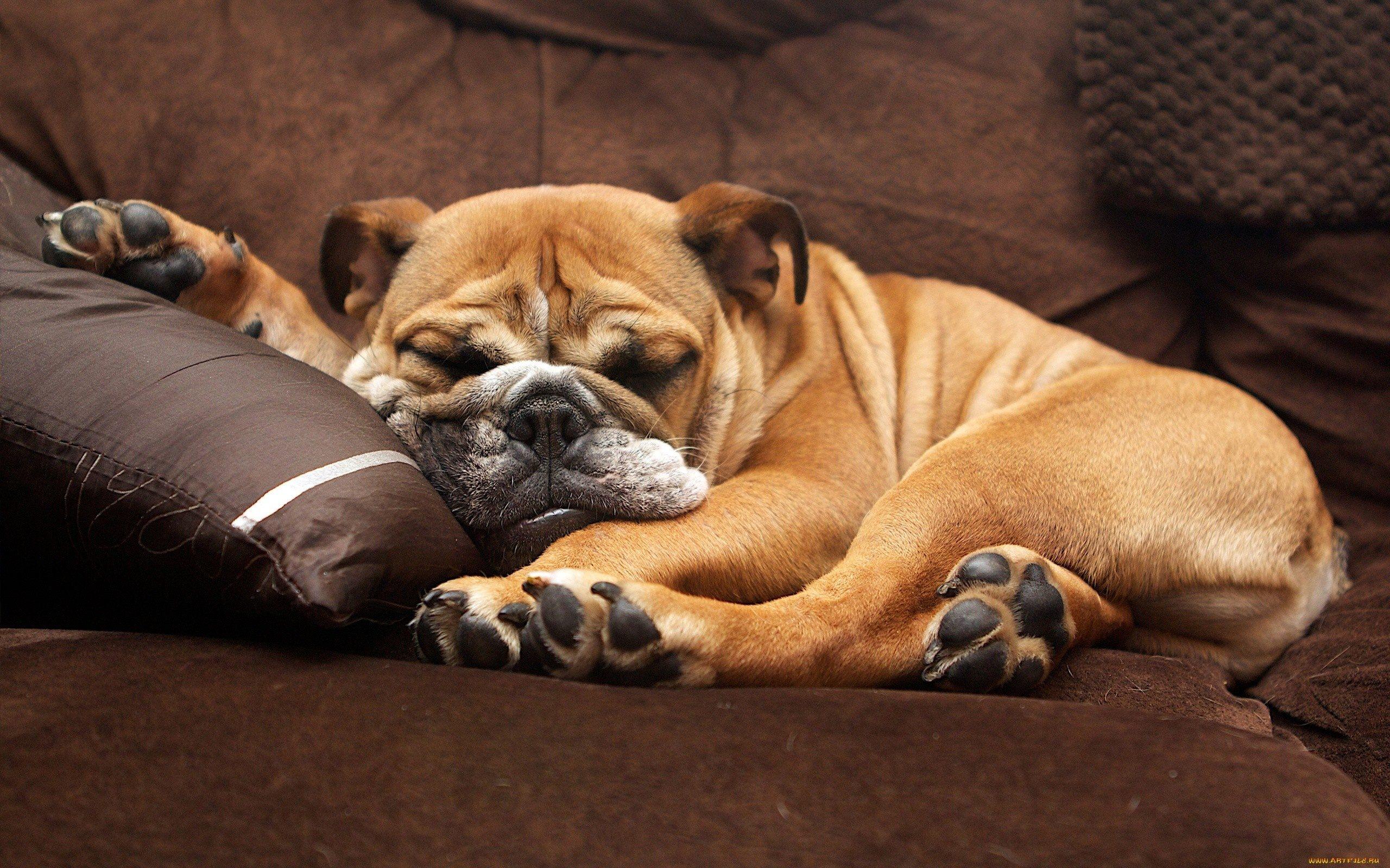Собака спит в картинках