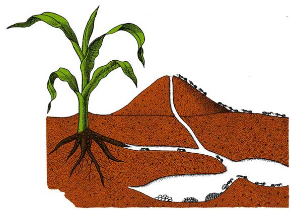 урон растениям от муравьев