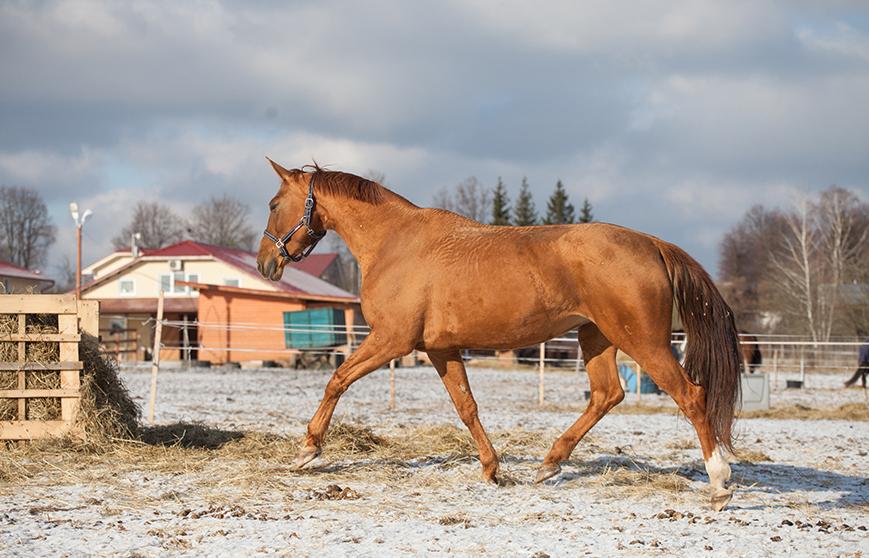 рысистые лошади орловской породы
