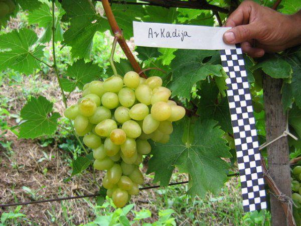 аркадия виноград описание