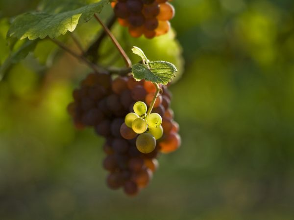 чеканка винограда летом