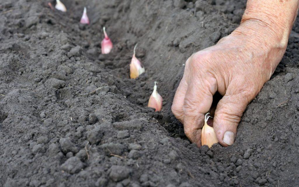 Удобрение чеснока, выращивание, подкормка весной и 13