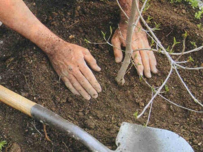 Лилии: проращивание луковиц в горшочках зимой и весной