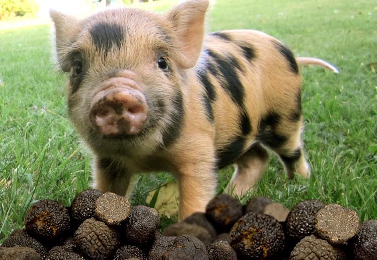данном картинки свинья ест желуди рецепт будет