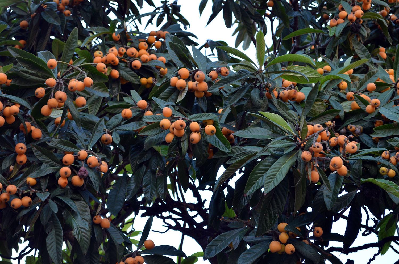 плоды растущие в сочи с фото паста тахини