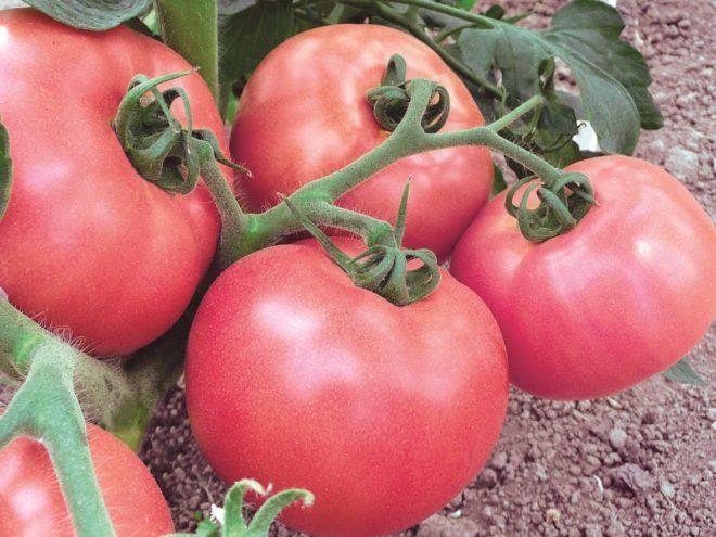 сорт томатов торбей