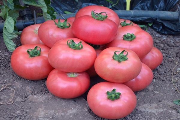сорт томатов розовый царь