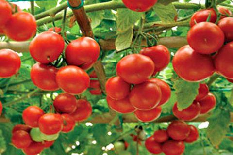 сорт томатов мажор