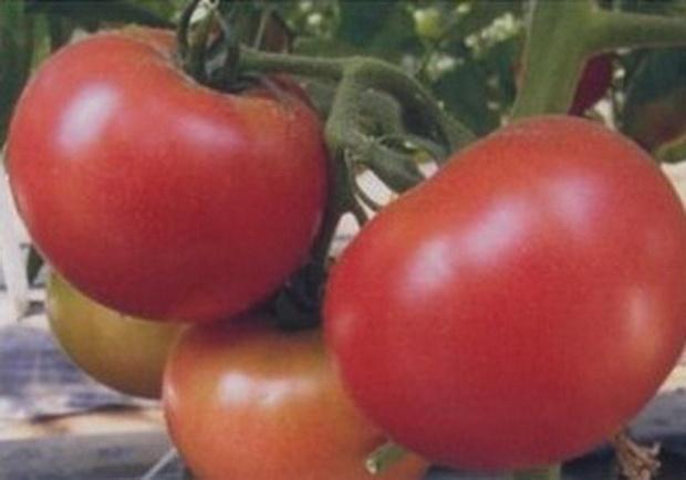 сорт томатов счастье