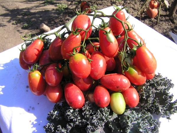 сорт томатов розовый изюм