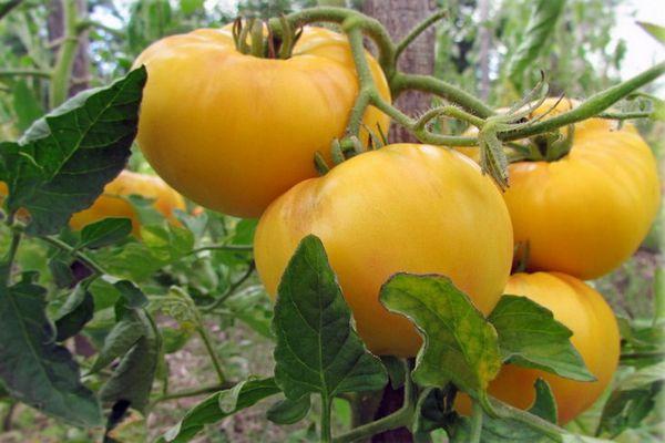сорт томатов гигант лимонный