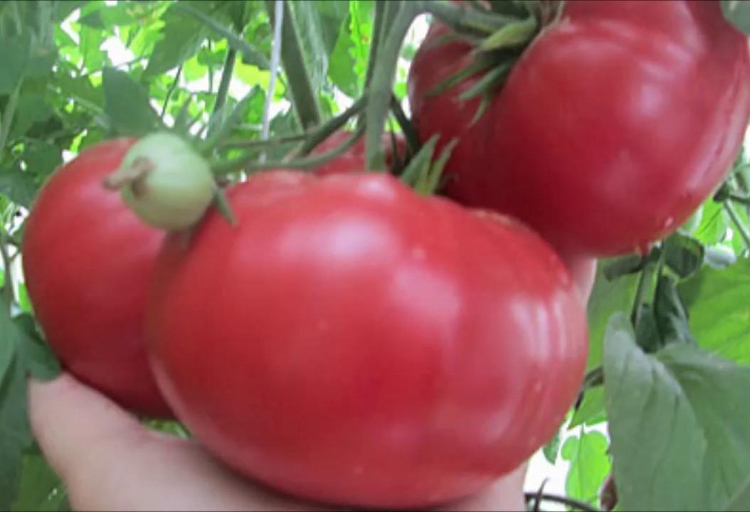 сорт томатов китайский розовый