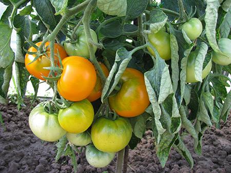 сорт томатов хурма