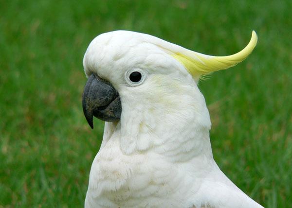 Какого рода слова какаду и колибри