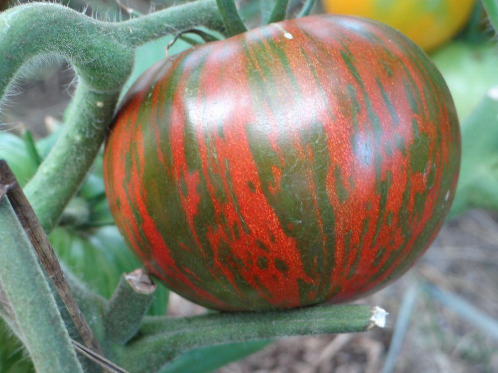 томат Полосатый шоколад
