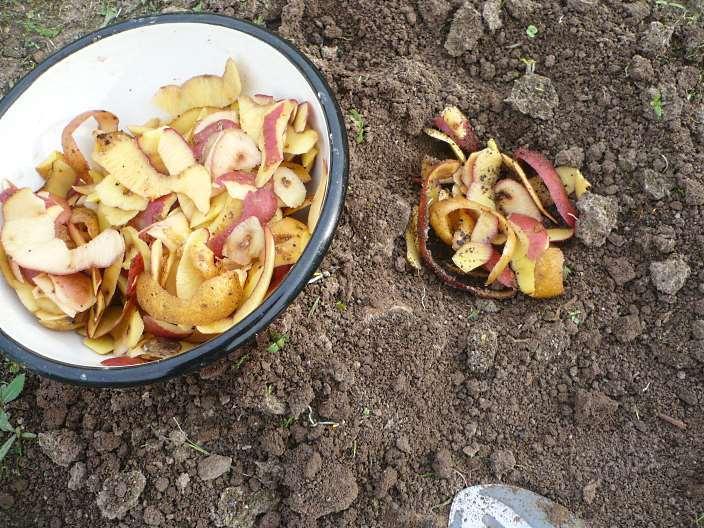 Картофельная ловушка для колорадского жука