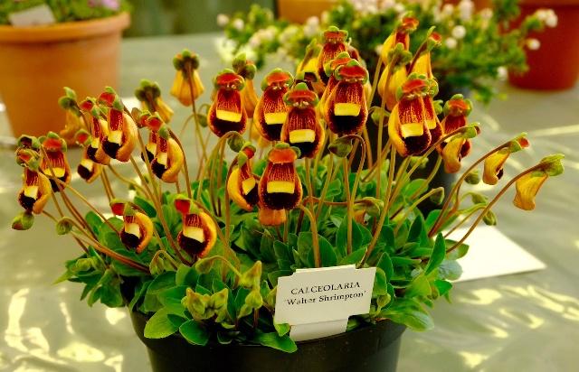 Для пышного цветения кальцеолярии необходима прохлада, повышенная влажность и рассеянный свет
