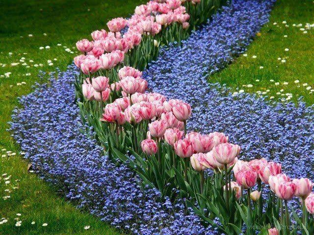 Тюльпаны в ландшафтном дизайне дачного участка