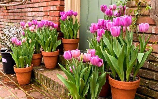 Посадка тюльпанов в горшки