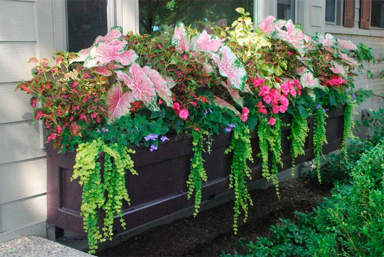 Цветы для балкона с красивыми листьями