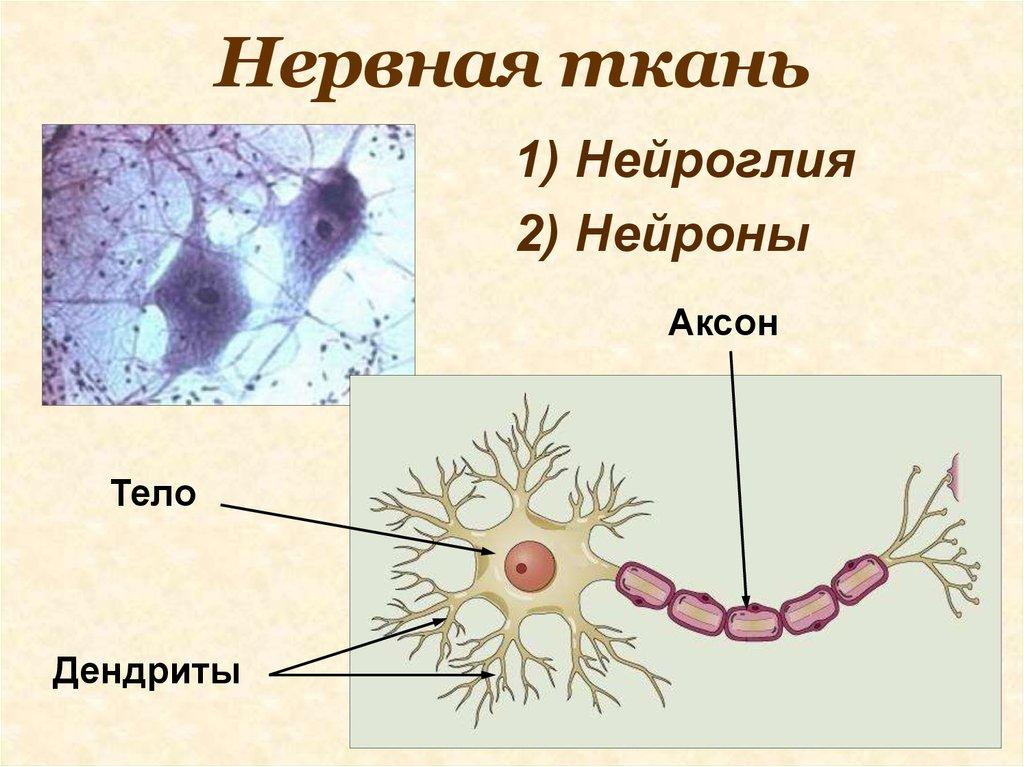 Нервная ткань строение картинка