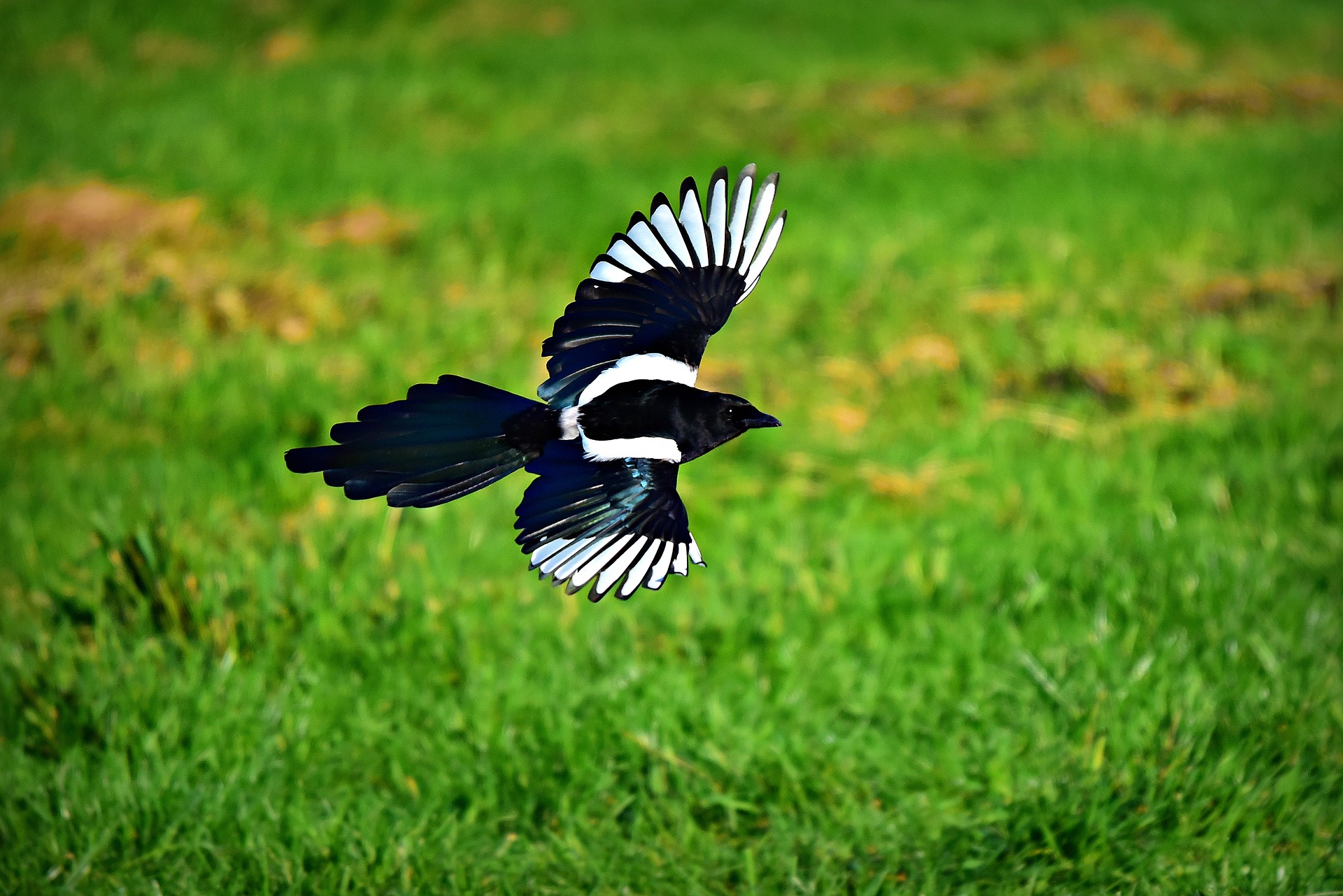 Wingspan magpie