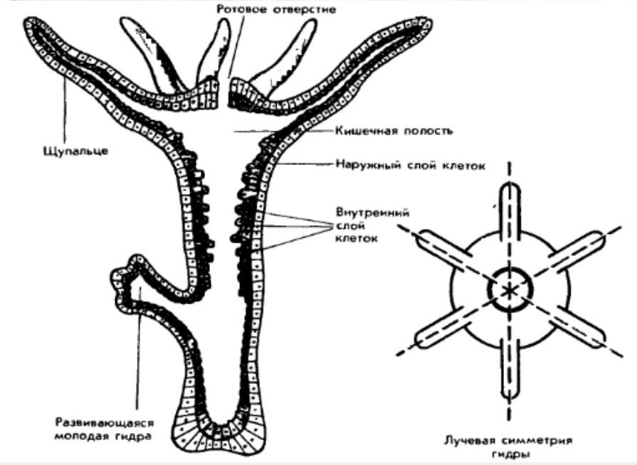 Внутренние строение и лучевая симметрия гидры