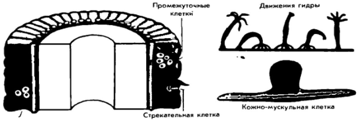 Наружный слой клеток и передвижение гидры