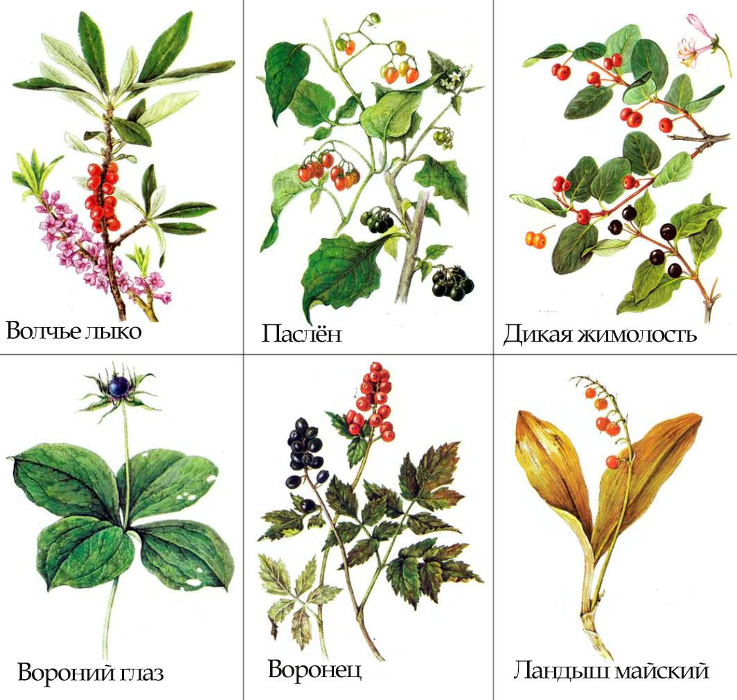 Рисунки ядовитых ягод