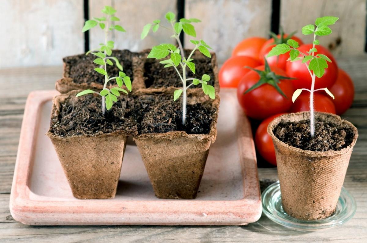 пошаговая посадка томатов на рассаду