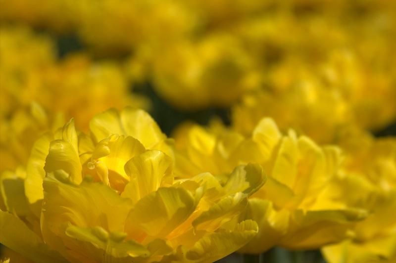 Парад тюльпанов в Никитском ботаническом саду. Крым.