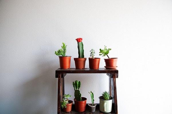 Кактус как домашнее растение