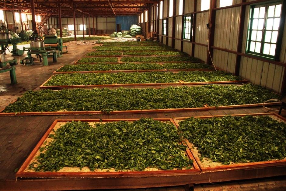 процесс обработки чайных листьев