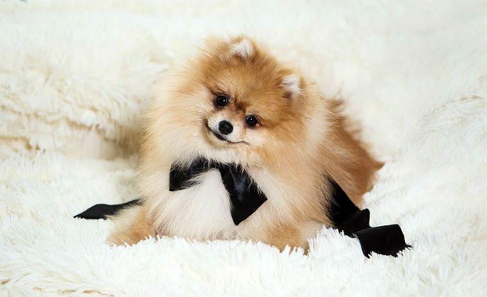 Стоит ли заводить собаку – померанский шпиц (3)