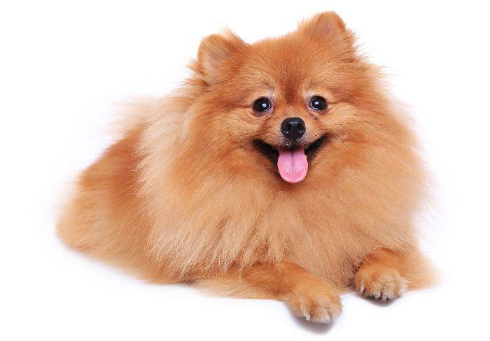 Померанский шпиц - стоит ли заводить собаку