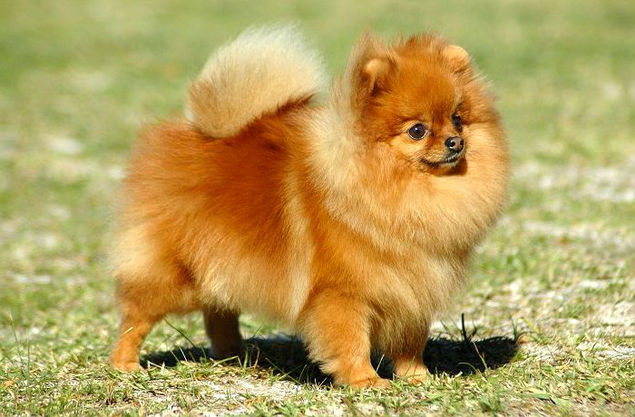 Собака - померанский шпиц