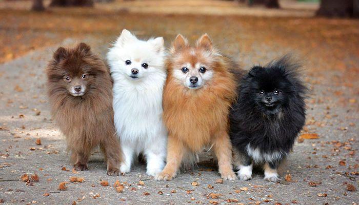 Собаки породы карликовый (померанский) шпиц