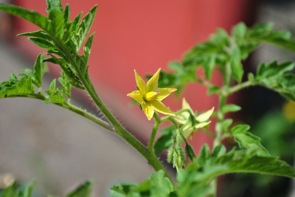 цветение помидор