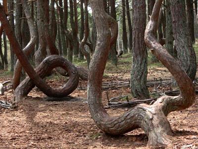 Загадочные места России: танцующий лес под Рязанью