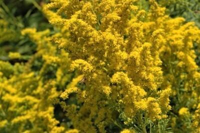Пізні квіти: цілющі властивості краси