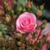 Как ухаживать за домашними розами
