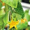 Как выращивать огурцы на грядке