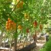 Как подвязать помидоры в теплице из поликарбоната